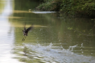 A duck takes off on the canal